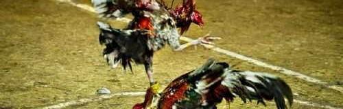Peleas de gallos: Patrimonio de Crueldad
