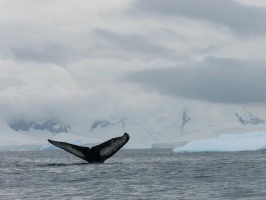 humpback-whale-amanda-wilson